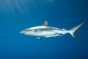 One grey reef and its remora